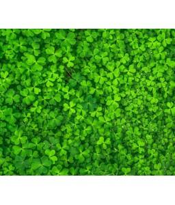 Γκαζόν τριφύλλι Trifolium Reppens