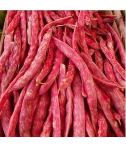 Φασόλι μπαρμπουνοζαργάνα κόκκινη αναρριχώμενο