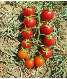 Τομάτα cherry Strombolino F1