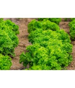 Μαρούλι κατσαρό σκουροπράσινο Helen 10gr